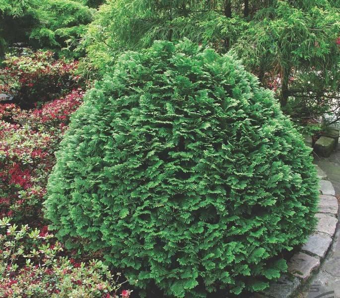 Как ухаживать за кипарисовиком в саду - виды и сорта с фото, посадка, размножение