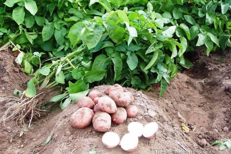 Применение сидератов для повышения урожайности картофеля и защиты от вредителей. какие лучше сажать и как именно?