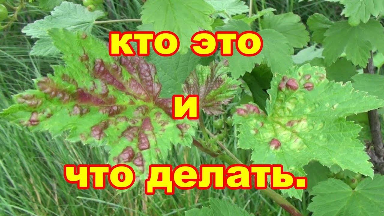 Заболевание черной смородины оранжевые пятна на листьях. почему желтеют листья смородины: основные причины
