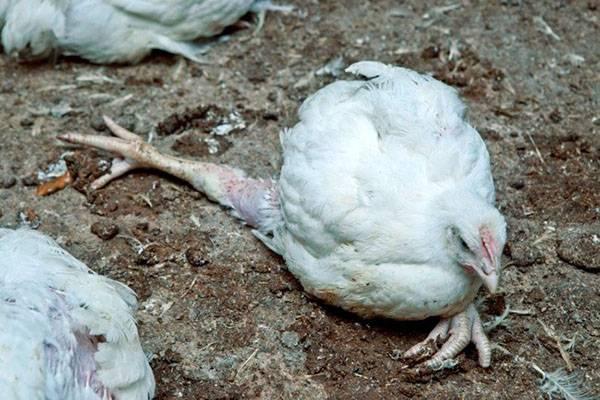 Как и чем лечить кокцидиоз у цыплят