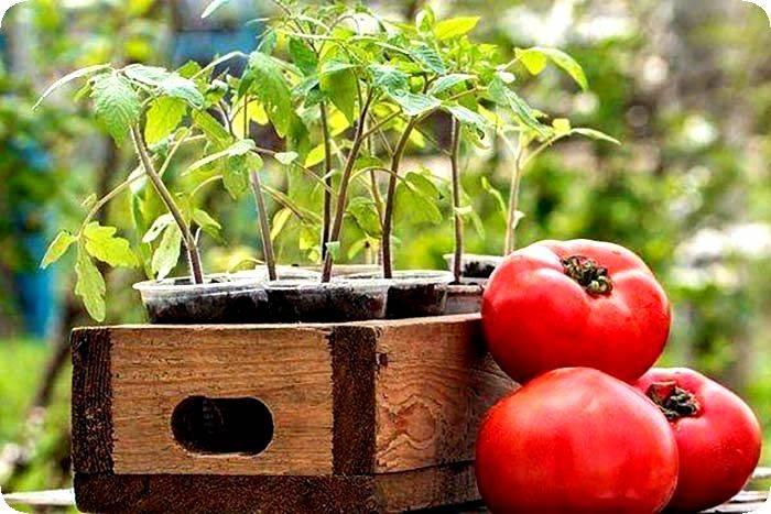 Уход за томатами после высадки рассады в открытый грунт