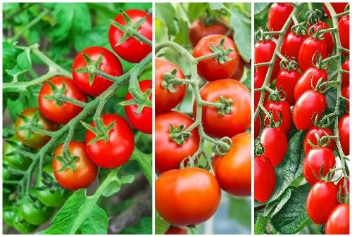 Помидоры черри — выращивание в домашних условиях на подоконнике