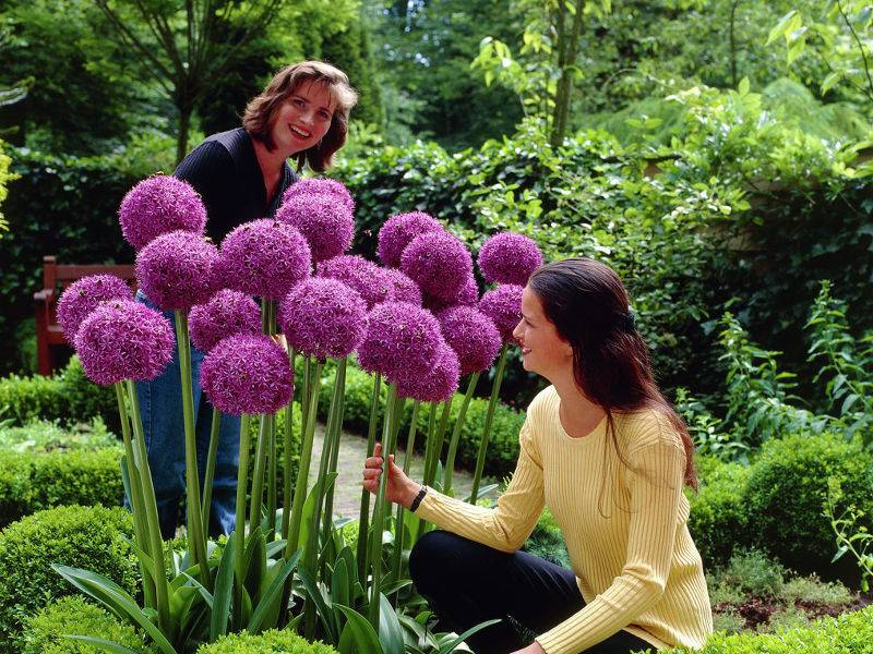 Гиацинт пёрпл сенсейшн (hyacinthus purple sensation)