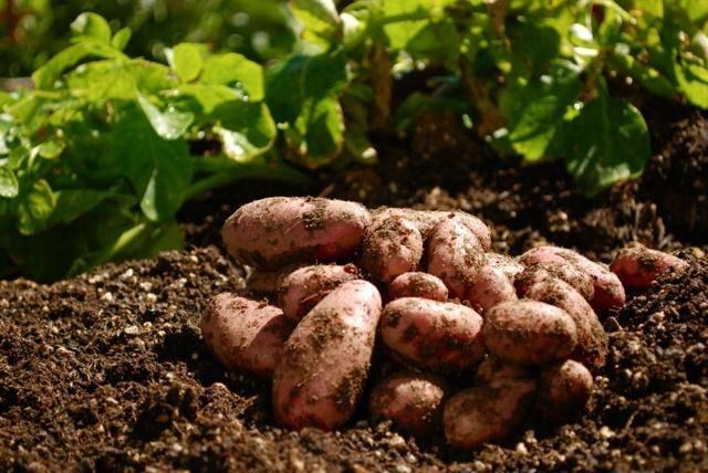 Технология возделывания картофеля