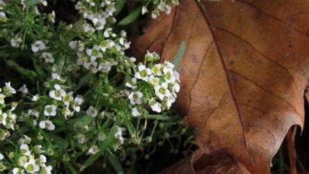 Ковер-медонос на дачной клумбе — алиссум многолетний