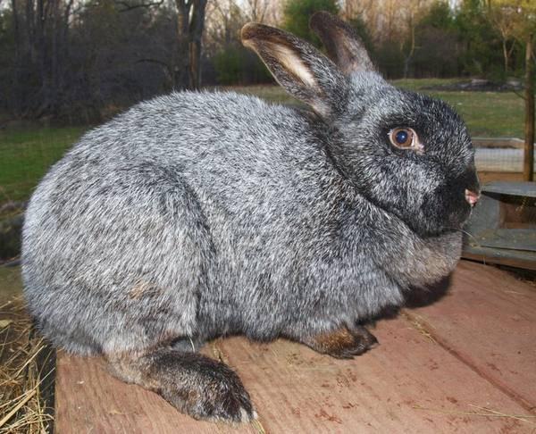 Содержание кроликов в домашних условиях