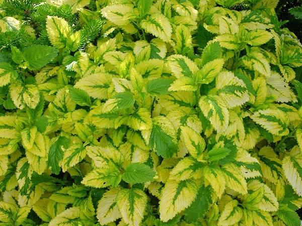 Все о лекарственном растении – мелиссе лимонной: описание и фото, полезные свойства, сорта, выращивание и хранение