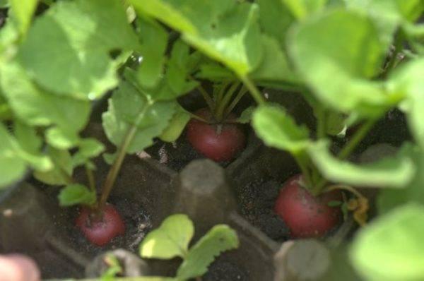 Выращивание редиса в лотках из-под яиц