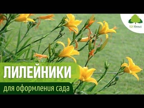 Лилейники — описание разновидностей, особенности выращивания, заболевания + 89 фото