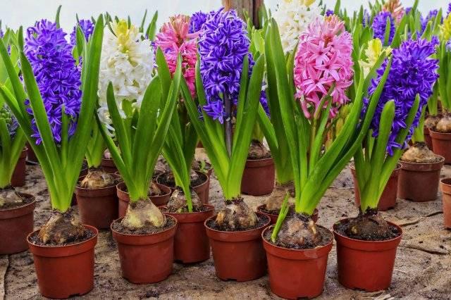Выгонка тюльпанов к 8 марта:простые способы с фото