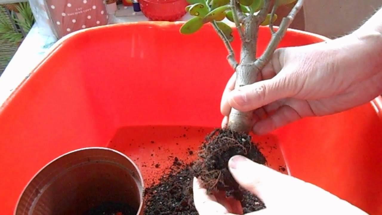 Почему листья денежного дерева стали мягкими и что делать, чтобы спасти растение? правила ухода