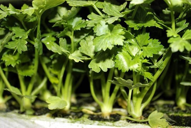 Сельдерей: выращивание из семян