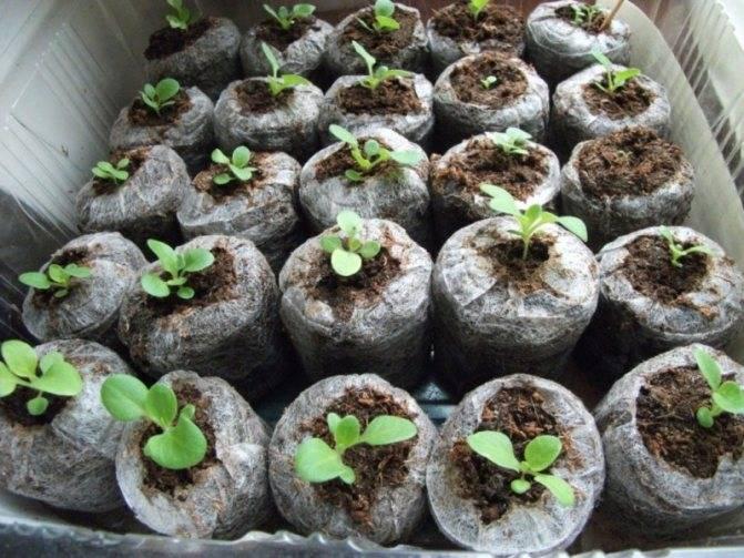 Выращивание рассады в торфяных таблетках – преимущества и недостатки