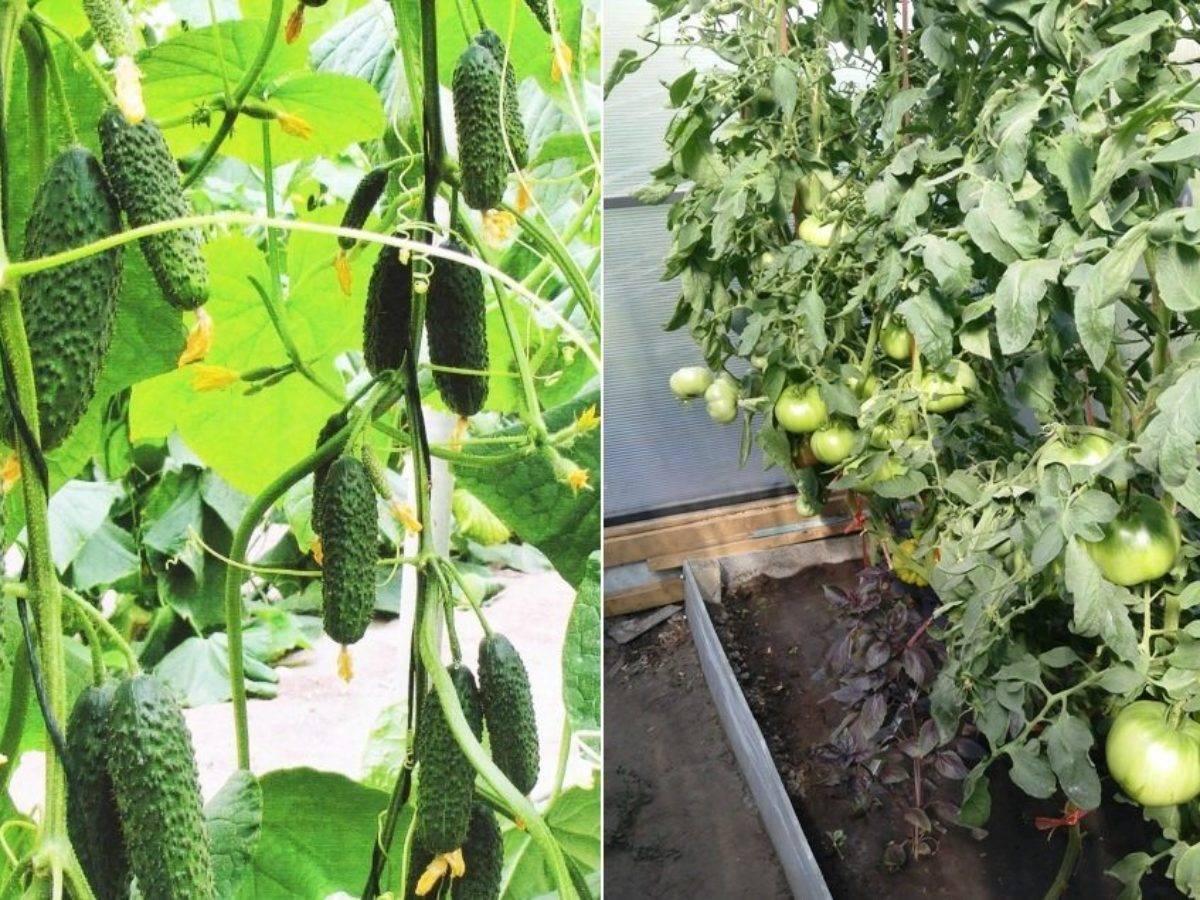 Премудрости выращивания огурцов в теплице: от посадки рассады до сбора урожая