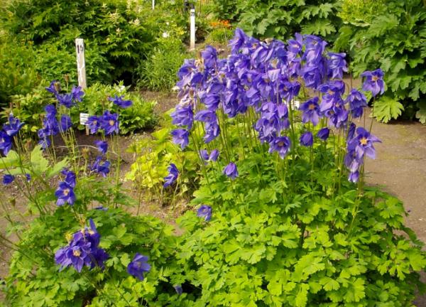 Выращивание аквилегии из семян в домашних условиях, посадка и уход за аквилегией в саду