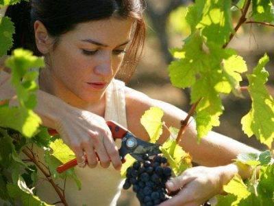 Чем подкормить виноград после цветения чтобы повысить урожайность
