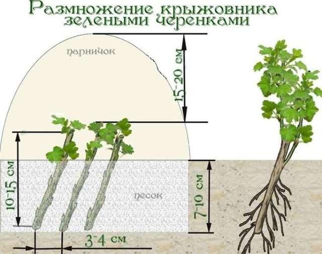 Размножение крыжовника весной, летом и осенью: способы (отводками, черенками, делением куста)