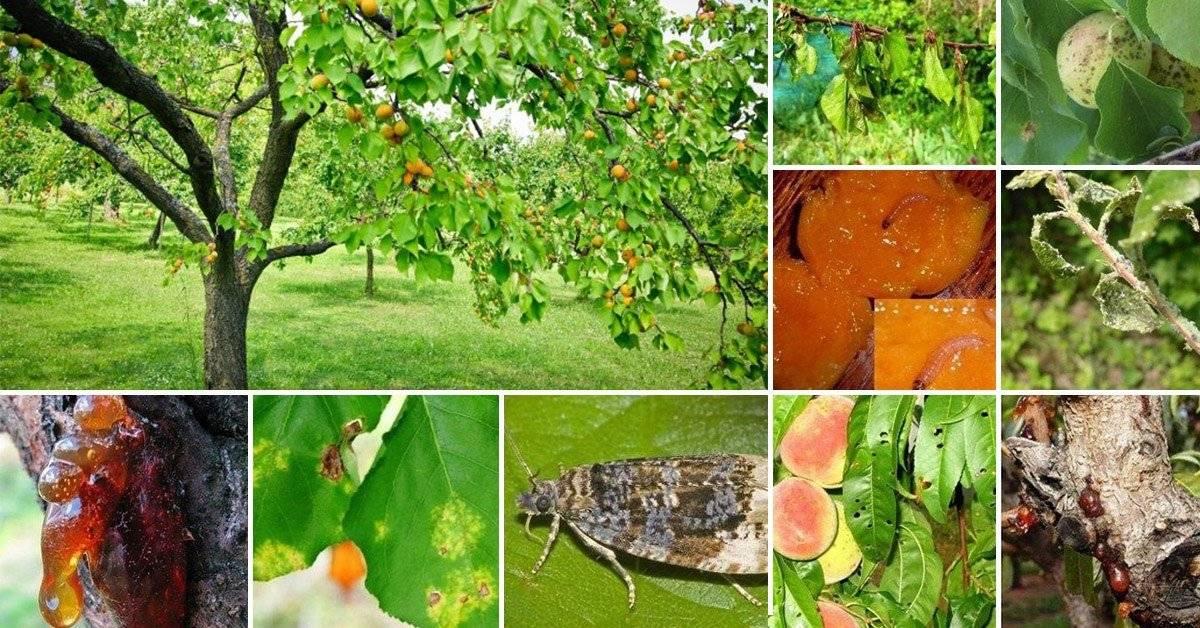 Тля на сливе: чем обработать дерево от вредителя?