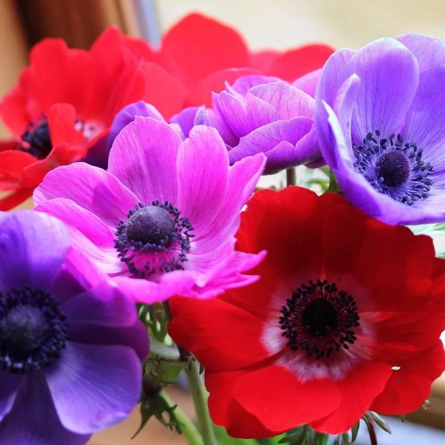 Анемоны цветы, фото сортов и видов, видео