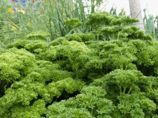 В помощь огородникам. правила посадки листовой петрушки в открытый грунт