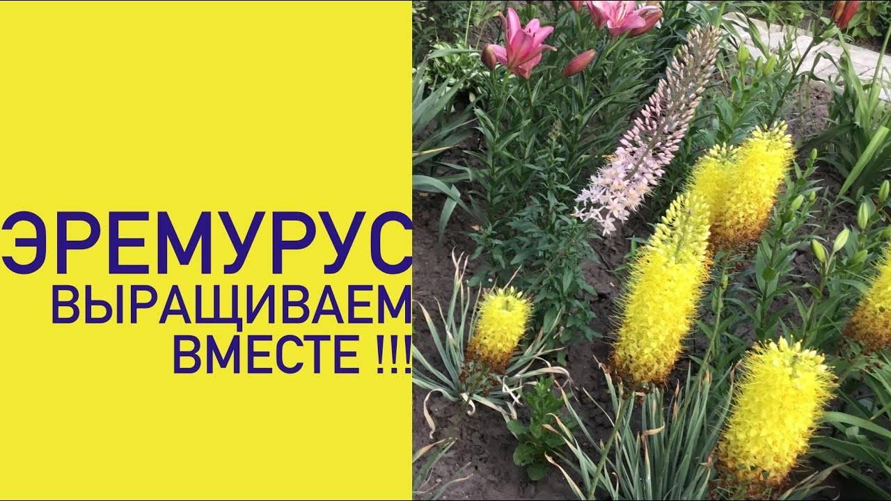 Хризантема килеватая: выращивание и уход в открытом грунте,фото.