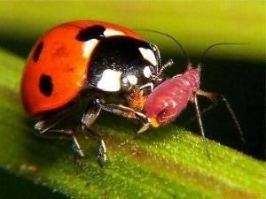 Алфавитный указатель видов насекомых алфавитный указатель видов насекомых