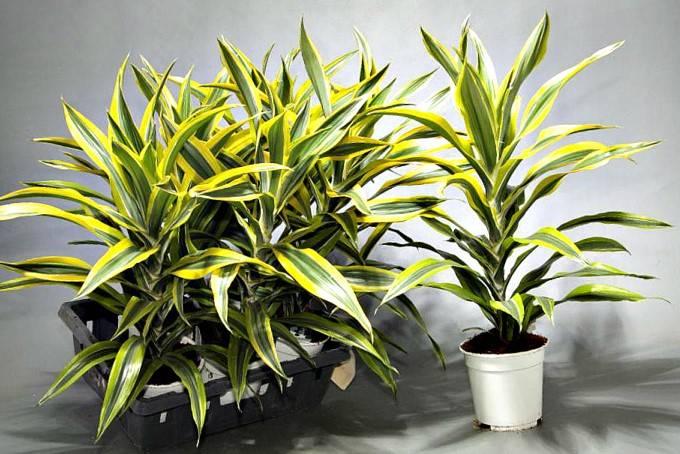 Счастливое растение или растение с легендой — драцена