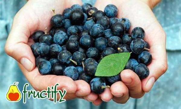 Терн ягода — обзор полезных свойств для организма