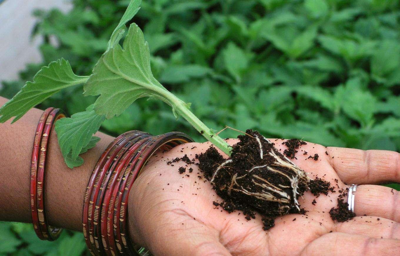 Как вырастить семенами хризантему видео