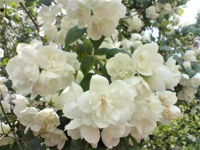 Вирджинал — махровый сорт зимостойкого садового жасмина