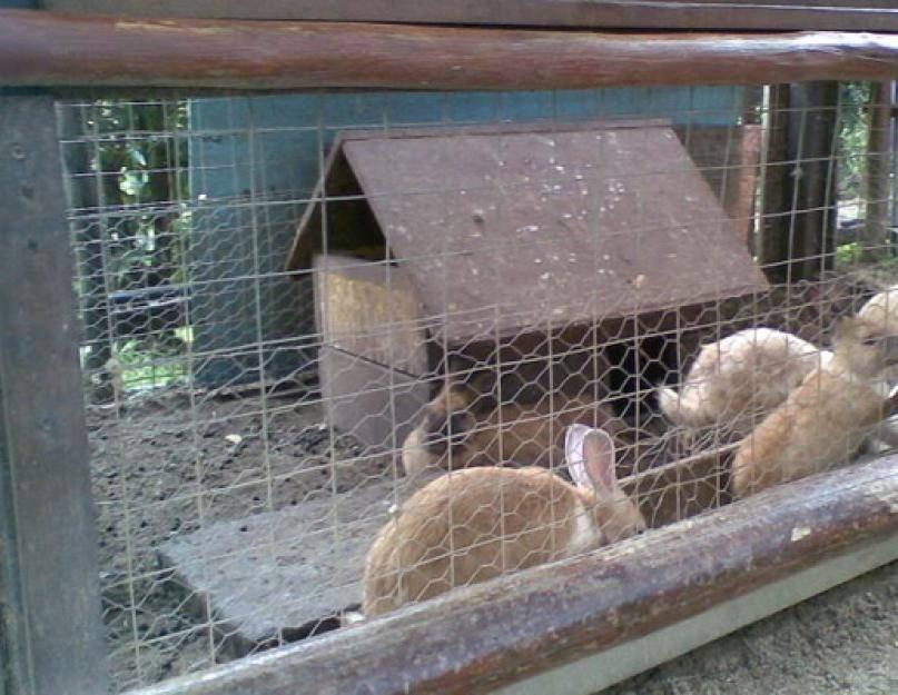 Разведение и содержание кроликов в яме