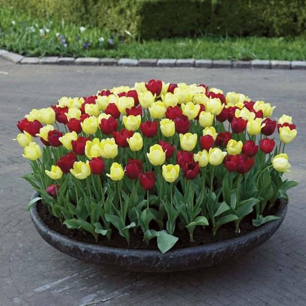 Посадка тюльпанов осенью: когда и как нужно сажать луковицы в грунт