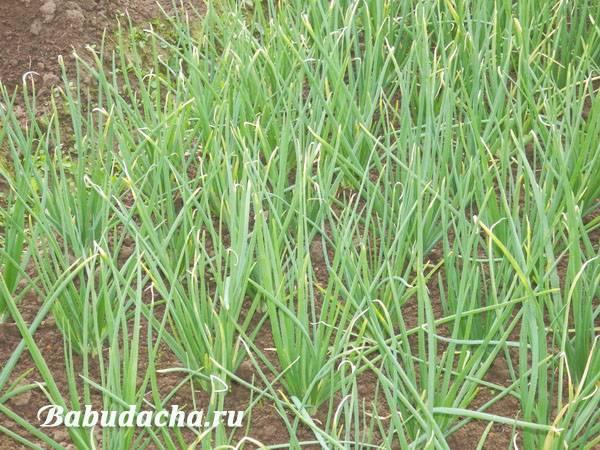 Как вырастить крупные луковицы репчатого лука?