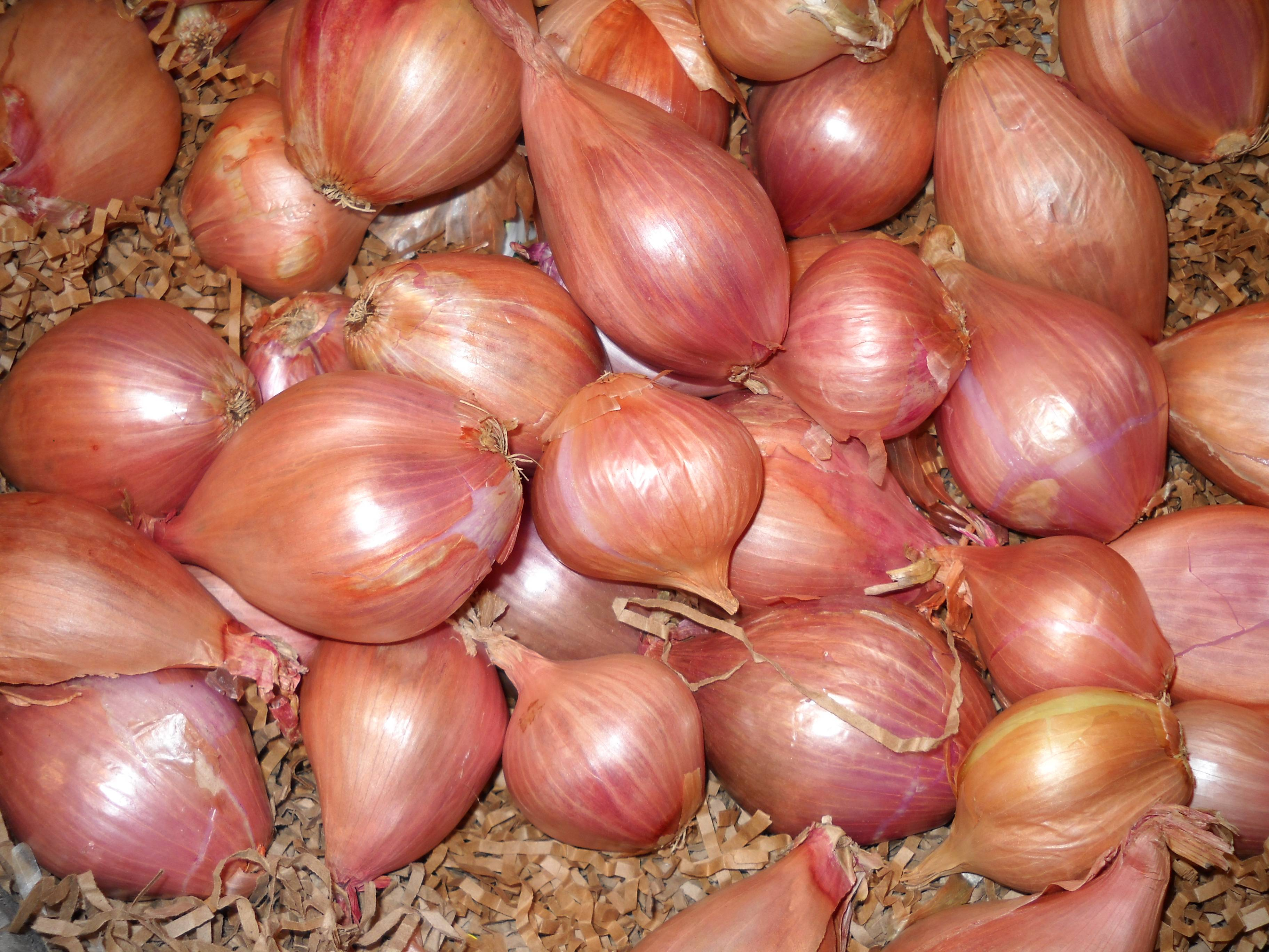 Лук-шалот – деликатесная разновидность репчатого лука