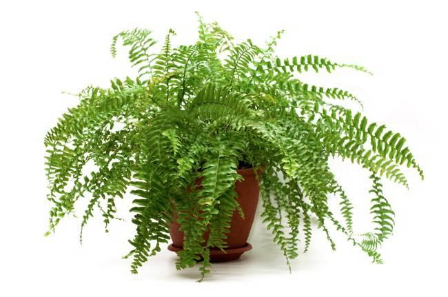 Выращивание и правильный уход за папоротником адиантумом в домашних условиях