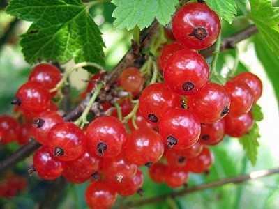 Красная смородина: основные этапы в выращивании и уходе