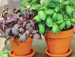 Несколько способов посева базилика, в том числе на рассаду и сразу в грунт