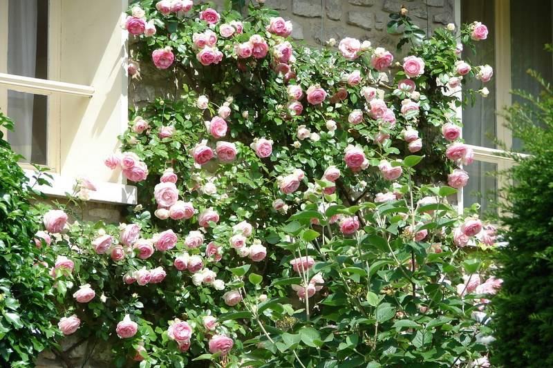 Размножение лилий чешуйками: простой способ разведения цветов