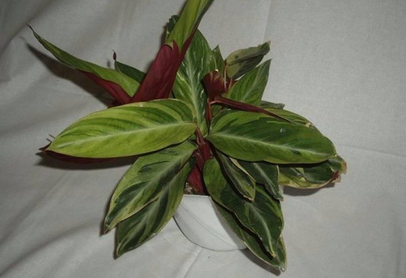 Цветок строманта: уход в домашних условиях, фото, размножение, пересадка, почему сохнет