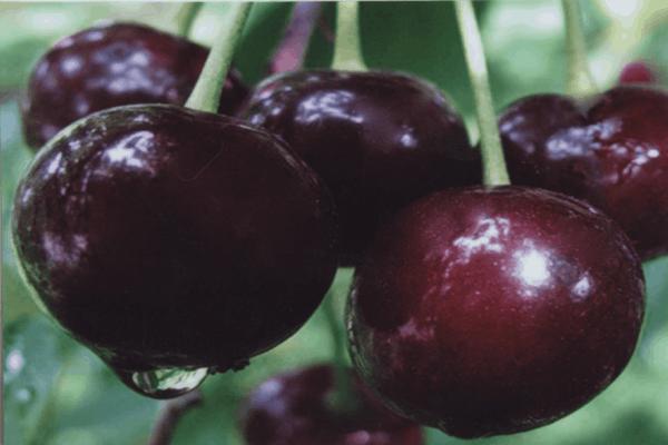 Вишня сорта шоколадница: невысокая, но урожайная и вкусная