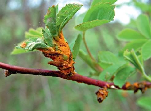 Ржавчина на листьях: 4 совета и 6 способов лечения