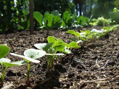 Выращивание редиса в теплице видео