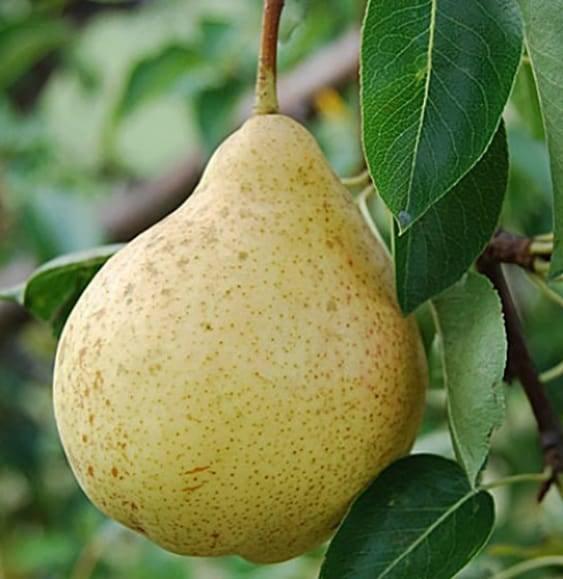Как купить качественные саженцы яблони и груши?