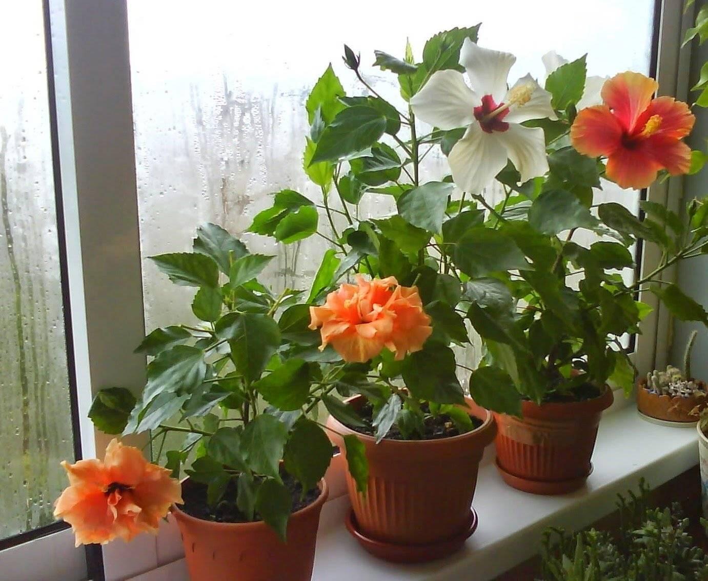 Выбор удобрения для гибискуса. когда и чем подкармливать комнатное растение?