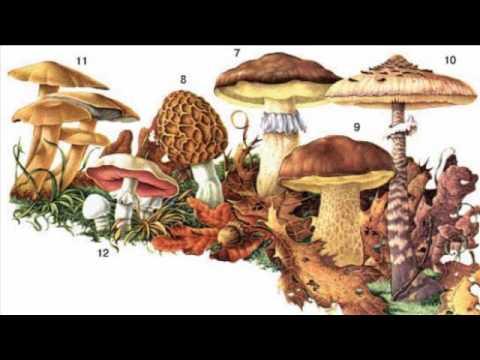Как научиться распознавать трубчатые грибы. съедобные грибы: названия с описанием малоизвестные съедобные грибы
