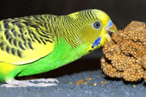 Правильный рацион питания волнистых попугайчиков