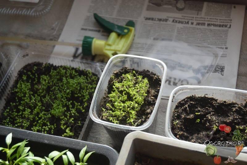 Что такое петрушка? описание, интересные факты, фото и выращивание огородного растения