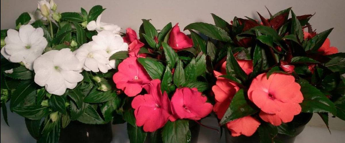 Виды импатиенса и уход за растением в домашних условиях