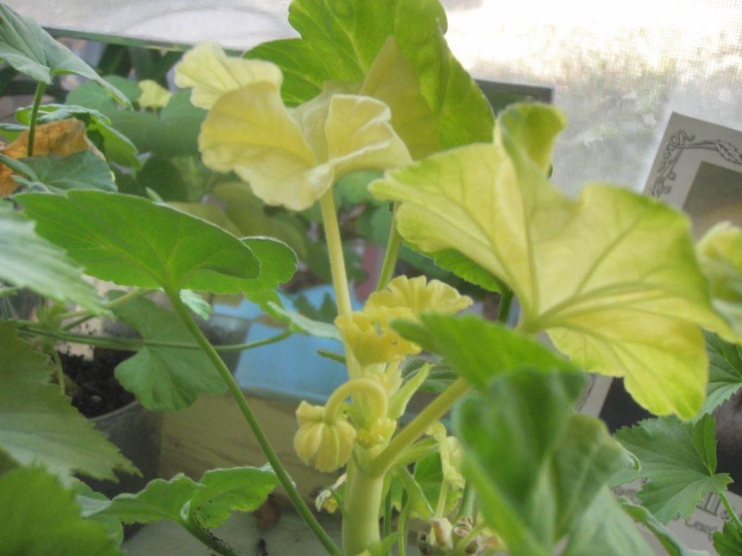 У герани желтеют листья: почему и что делать?