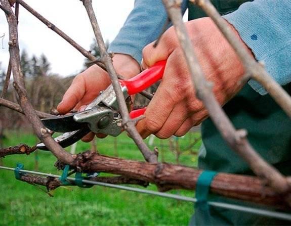 Правила обрезки винограда летом и весной
